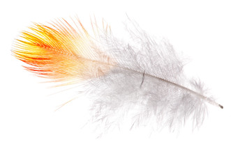 single feather with orange edge