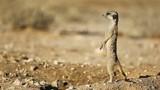 Alert meerkat standing on guard, Kalahari desert