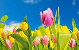 Fototapety tulpe und blauer himmel