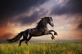 Black Friesian horse gallop - 49946803