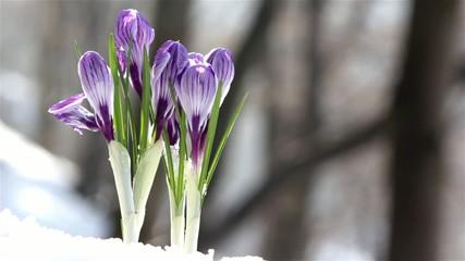 beautiful spring flowers-crocus