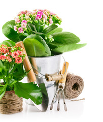 spring flower in pail with garden tools isolated on white