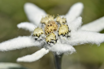 Macro of edelweiss flower