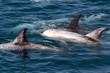 Risso Dolphin