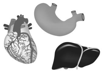 human organs. human heart, stomach and liver