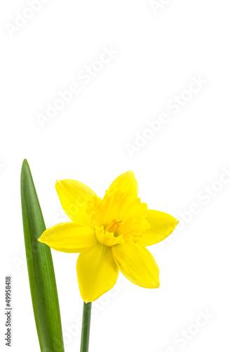 Canvas Narcis Osterglocke perfekt freigestellt auf weißem Hintergrund