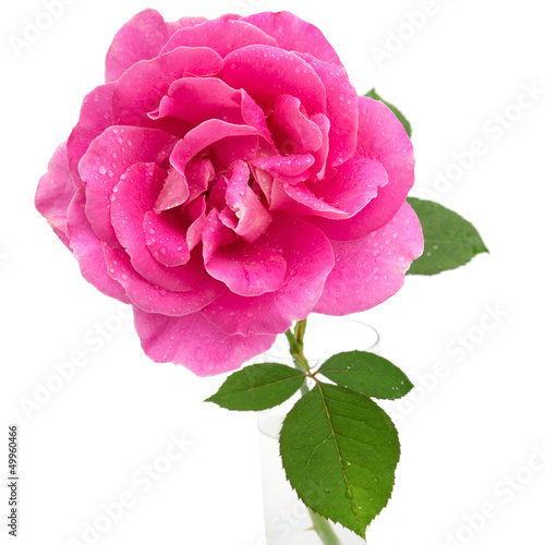 Pink rose with water droplets in vase isolated on white