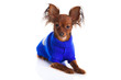 Toy terrier. Russian toy terrier on a white background. Funny li