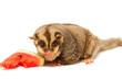 fat sugar-glider eating melon