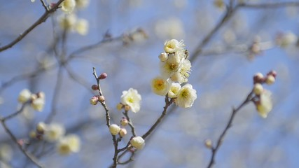 Flowers of White Plum and Bee in Koganei park,Tokyo,Japan