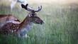 fallow deer  sitting