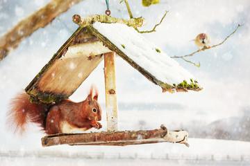 red squirrel in the bird feeder