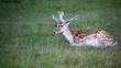 fallow deer on grass