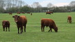 Cows and calfs in field. Cambridgeshire, England.