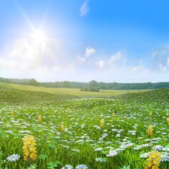 Wilde Wiese Butterblumen  Felder unter blauem Himmel