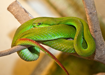 Trimeresurus albolabris, White-lipped Tree Viper. Indonesia.