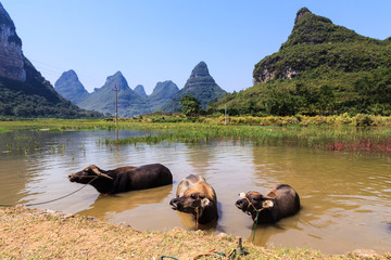Cows cooling down in water in Asia