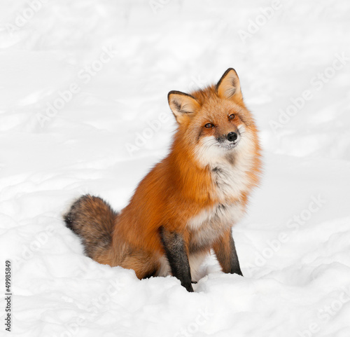 Red Fox (Vulpes vulpes) Sits in Snow with Cocked Head