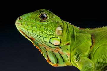 Green Iguana / Iguana iguana