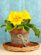 Beautiful yellow primula in flowerpot on curtains background