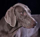 Weimaraner hunting dog, pointer, hound poster