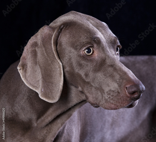 Weimaraner hunting dog, pointer, hound