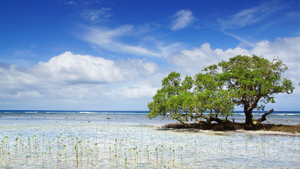 Mangrove tree.  Siquijor island, Philippines