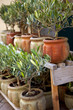Olivier, provence, sud, arbre, pot, jardin, plante, olive