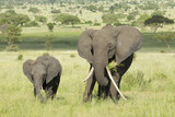 Female African Elephant with long tusk (Loxodonta africana) with poster