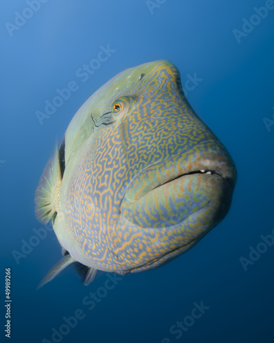 Curious giant wrasse