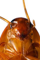 クロゴキブリの顔