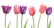 Pink and purple tulip flowers on white background