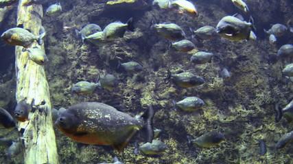 piranha (Serrasalmus)