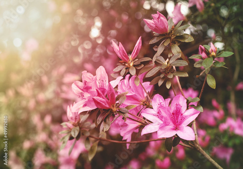 Deurstickers Azalea Spring Azaleas in Soft Sunlight