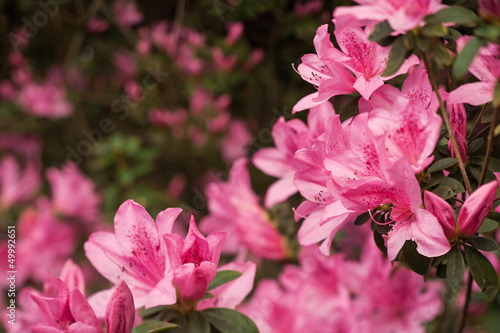 Pink Azalea Clusters on Soft-Focus Background