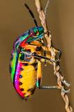 Fototapeta Close up of Jewel Bug in the nature