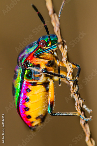Close up of Jewel Bug in the nature