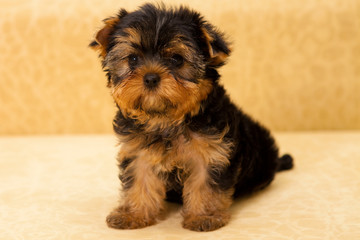 puppy of a Yorkshire terrier