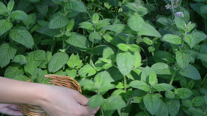 closeup hands gather pick mint leaf. alternative medicine herbs