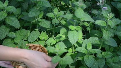 closeup hands gather pick mint leaf. alternative medicine herbs