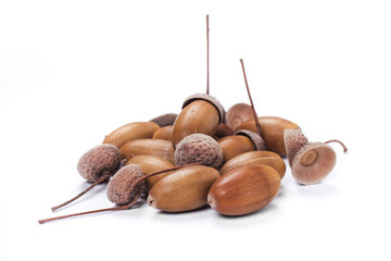acorn on the white background