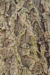 Bark of a Chinese cork oak (Quercus variabilis)