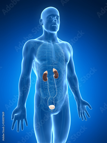 3d rendered illustration of the urinary system