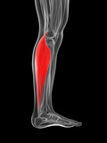 3d rendered illustration of the gastrocnemius