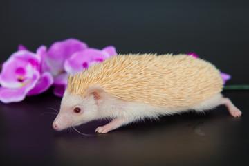 hedgehog albino
