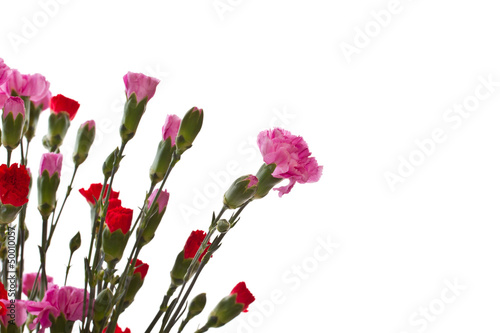 beautiful carnation