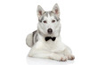 Husky dog on white background