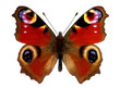 European Peacock butterfly (Inachis io) - 50015228