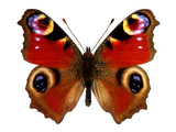Fototapety European Peacock butterfly (Inachis io)