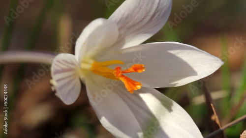 White Crocus / Spring Flowers (Macro)